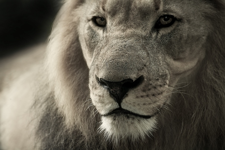 lion-animal-portrait-africa-safari-40196